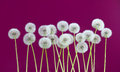 Dandelion flower on purple color background, many closeup object Royalty Free Stock Photo