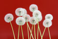 Dandelion flower on red color background, group objects on blank space backdrop, nature and spring season concept.