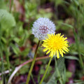 Dandelion flower and seeds Royalty Free Stock Photo