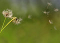 Dandelion flower seeds Royalty Free Stock Photo