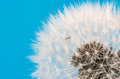 Dandelion flower seeds blowball Royalty Free Stock Photo