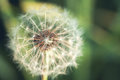 Dandelion flower with seeds macro Royalty Free Stock Photo