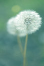 Dandelion flower shallow depth of field Royalty Free Stock Photo
