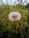 Dandelion flower spring flowers