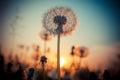 Dandelion flower at sunset Royalty Free Stock Photo