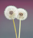 Dandelion flower on violet color background, many closeup object Royalty Free Stock Photo