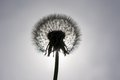 Dandelion flower on a white background silhouette Royalty Free Stock Image