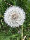 Dandelion flowering in the field Royalty Free Stock Photo