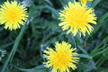 Dandelion flowers on a background of spring grass