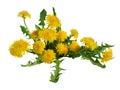 Dandelion flowers bush isolated. Royalty Free Stock Photo