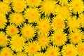 Dandelion flowers on the grass Royalty Free Stock Images