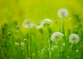 Dandelion flowers in a green meadow spring Royalty Free Stock Photography