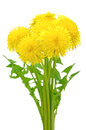 Dandelion flowers isolated on a white background Royalty Free Stock Images
