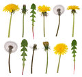 Dandelion flowers and leaves isolated on white background Stock Photos