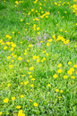 Dandelion flowers many and green grass on a sunny day Stock Photography