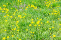 Dandelion flowers many and green grass on a sunny day Stock Photos