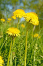 Dandelion flowers on meadow close up view Stock Images