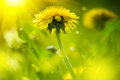 Dandelion flowers on spring field Royalty Free Stock Photo