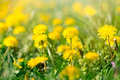 Dandelion flowers - Spring flower Royalty Free Stock Photo