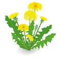 Dandelion flowers  on white background. Royalty Free Stock Photo