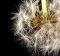 Dandelion fluff on a black background. macro Royalty Free Stock Photo