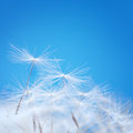 Dandelion fluff on a blue background Stock Photos