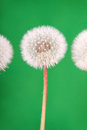 Dandelion fluff on green danelion or seeds a background Royalty Free Stock Photos