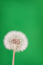 Dandelion fluff on green danelion or seeds a background Royalty Free Stock Photography