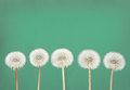 Dandelion fluff on teal danelion or seeds a or green background Royalty Free Stock Images