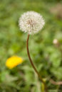 Dandelion Gone To Seed With Young Yellow One Royalty Free Stock Photo