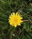 Dandelion in the grass 3 Royalty Free Stock Photo