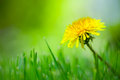 Dandelion in the Grass Royalty Free Stock Photo