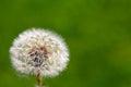 Dandelion on grassy background green Stock Photos