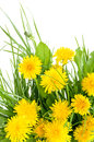 Dandelion and green grass Royalty Free Stock Photo