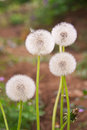 Dandelion on green grass background macro photo Stock Image