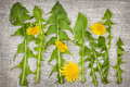 Dandelion greens and flowers arrangement of fresh dandelions on linen fabric background Royalty Free Stock Photo