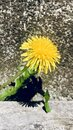 The dandelion grows under the slit of the board Royalty Free Stock Photo