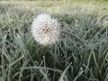 Dandelion in hoarfrost Royalty Free Stock Photo
