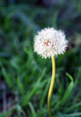 Dandelion illustration natures of a single Stock Images