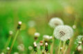 Dandelion Isolated in the green background summer Royalty Free Stock Photo