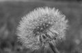 Dandelion Isolated In Natural Background Black And White Royalty Free Stock Photo