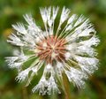 Dandelion after a large rainfall clusters of white seeds with raindrops Royalty Free Stock Images
