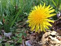Dandelion a lonely flower sitting in the grass Royalty Free Stock Images
