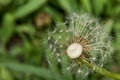 Dandelion losing its seeds macro photography of to wind Royalty Free Stock Images