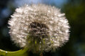 Dandelion macro picture of a Royalty Free Stock Photography