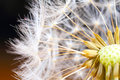 Dandelion macro seeds shot of a flower blow blum Royalty Free Stock Images