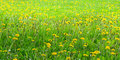 Dandelion meadow Royalty Free Stock Photos