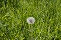 Dandelion in a meadow of green grass