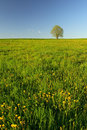Dandelion meadow with tree Royalty Free Stock Photography