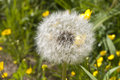 Dandelion one big on a background of grass Stock Photos